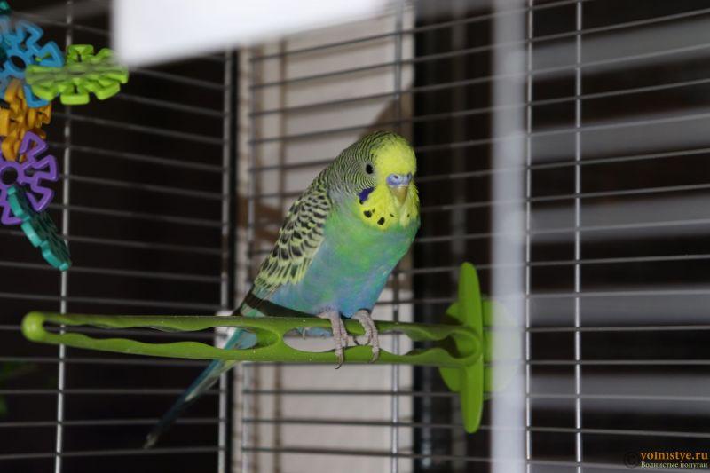 Окрасы волнистых попугаев - 1.JPG