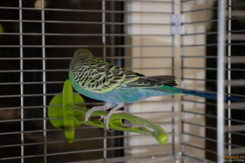 Окрасы волнистых попугаев - 2.jpg