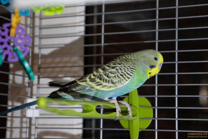 Окрасы волнистых попугаев - 3.jpg