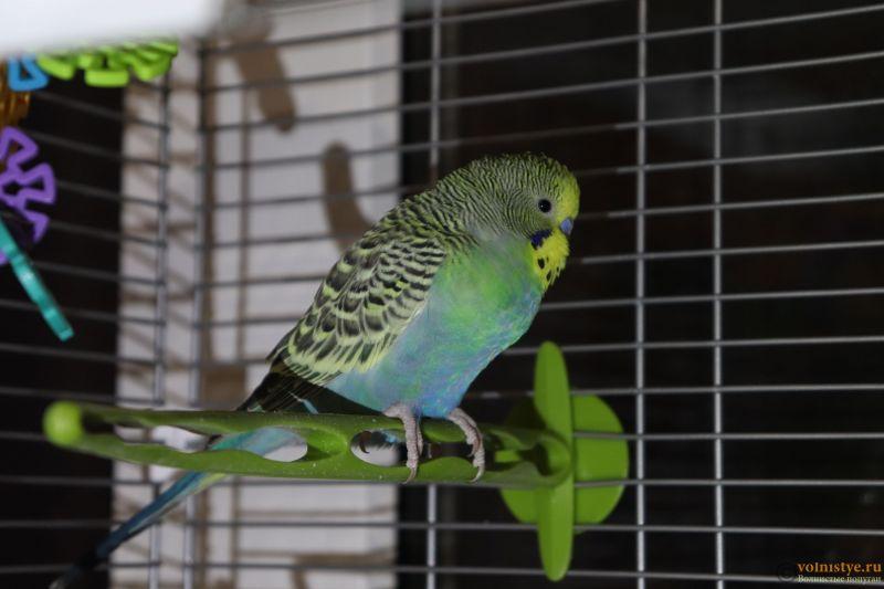 Окрасы волнистых попугаев - 4.JPG