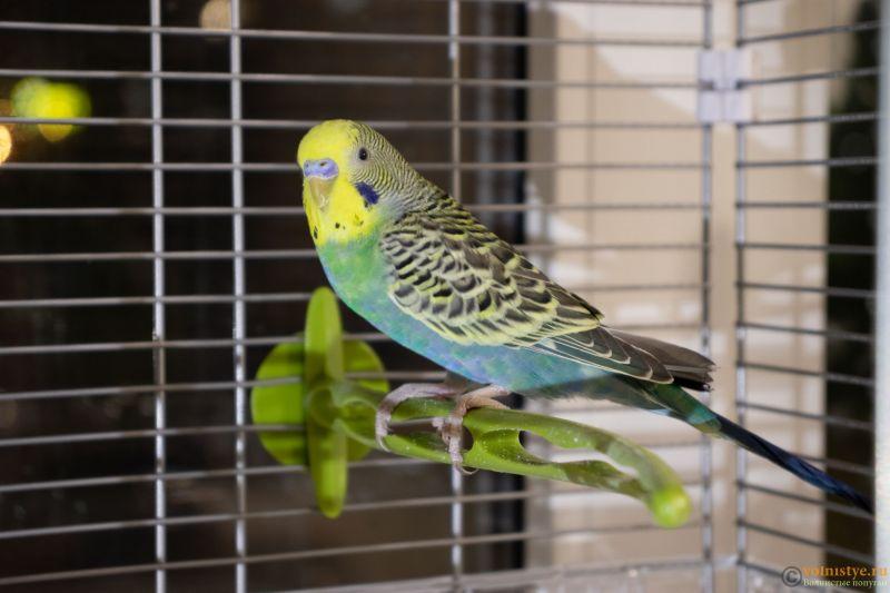 Окрасы волнистых попугаев - 5.jpg