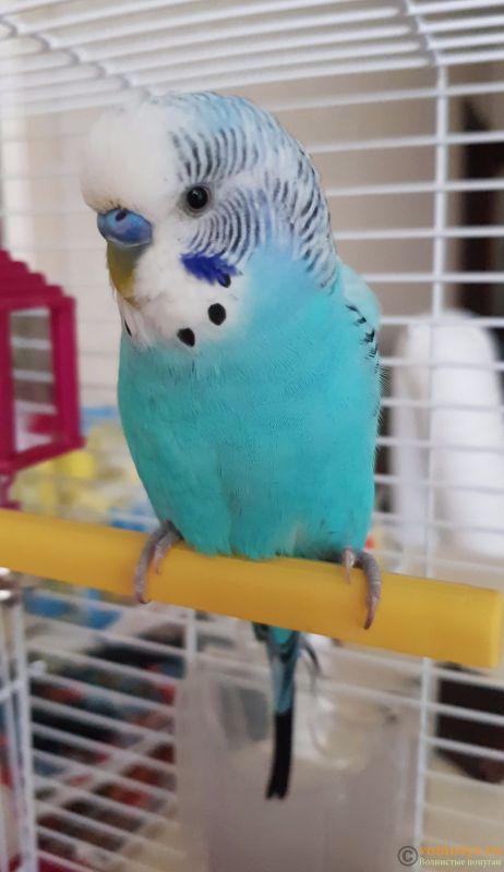 Фотографии  для статьи  окрасы волнистых попугаев - 20190202_163806.jpg
