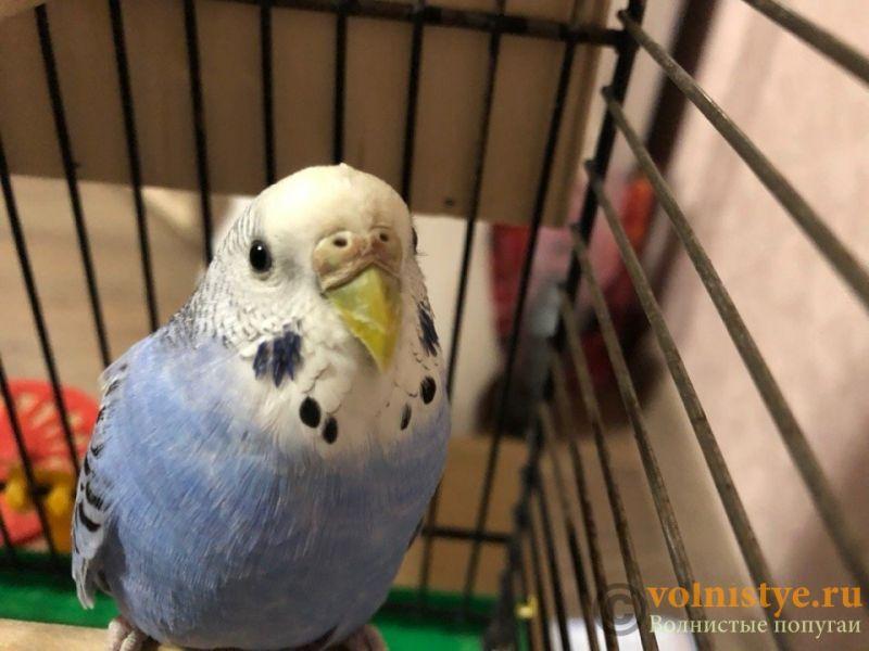 Определение пола и возраста попугаев № 11 - CG1CaHCO0oc.jpg