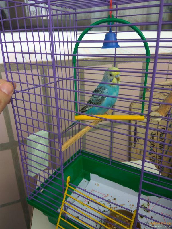 Определение пола и возраста попугаев № 11 - IMG_20190203_133835.jpg