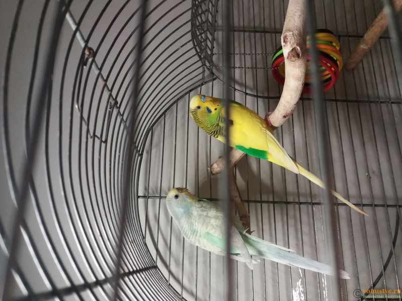 Какого окраса ваши попугаи и какого у них получились птенцы? - 20190111_212945.jpg