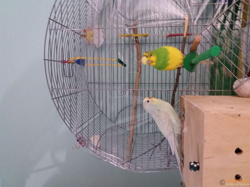 Какого окраса ваши попугаи и какого у них получились птенцы? - 20190116_204843.jpg