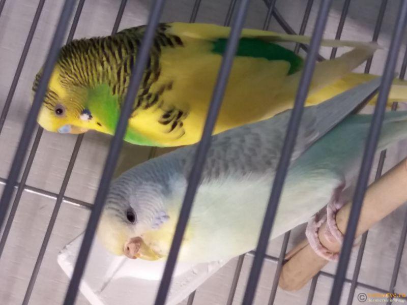 Какого окраса ваши попугаи и какого у них получились птенцы? - 20190203_151246.jpg
