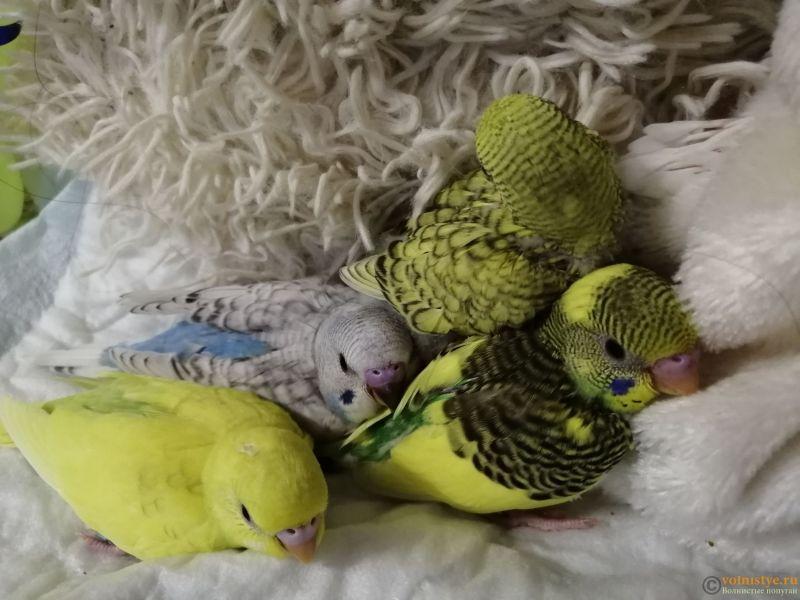 Какого окраса ваши попугаи и какого у них получились птенцы? - IMG_20190203_191407.jpg