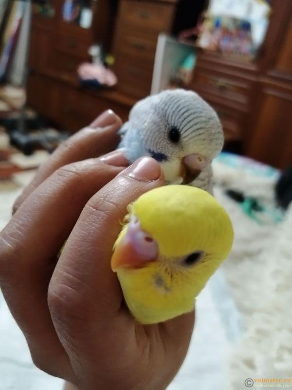 Какого окраса ваши попугаи и какого у них получились птенцы? - IMG_20190203_183848.jpg