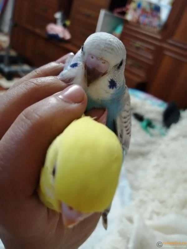 Какого окраса ваши попугаи и какого у них получились птенцы? - IMG_20190203_183832.jpg