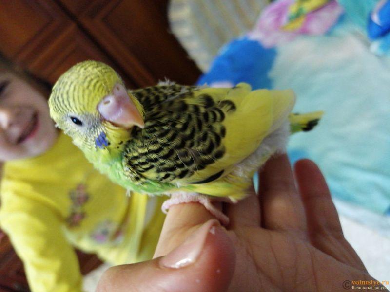 Какого окраса ваши попугаи и какого у них получились птенцы? - IMG_20190203_101328_BURST001_COVER.jpg