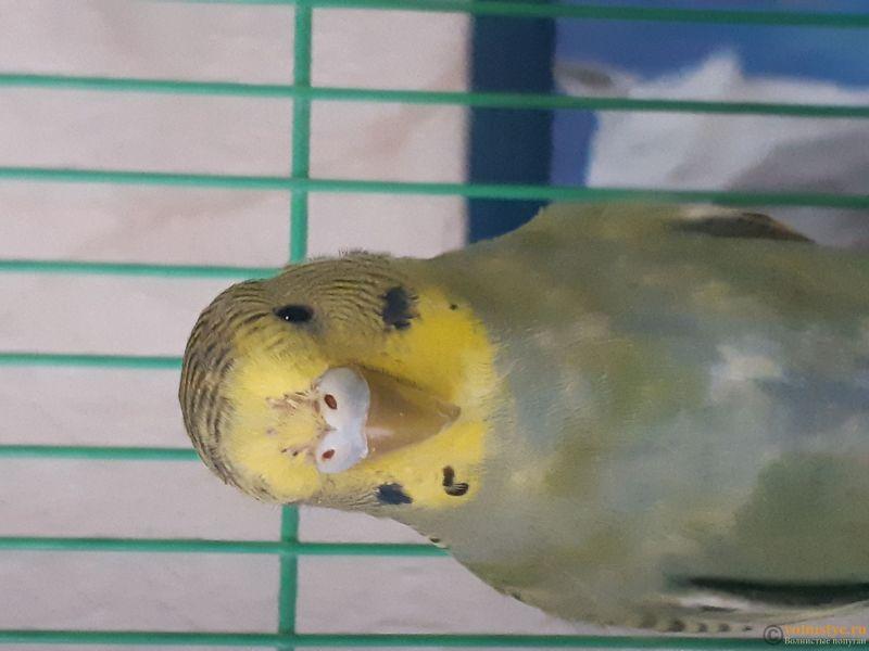 Определение пола и возраста попугаев № 11 - 15492854723446624393513663076242.jpg