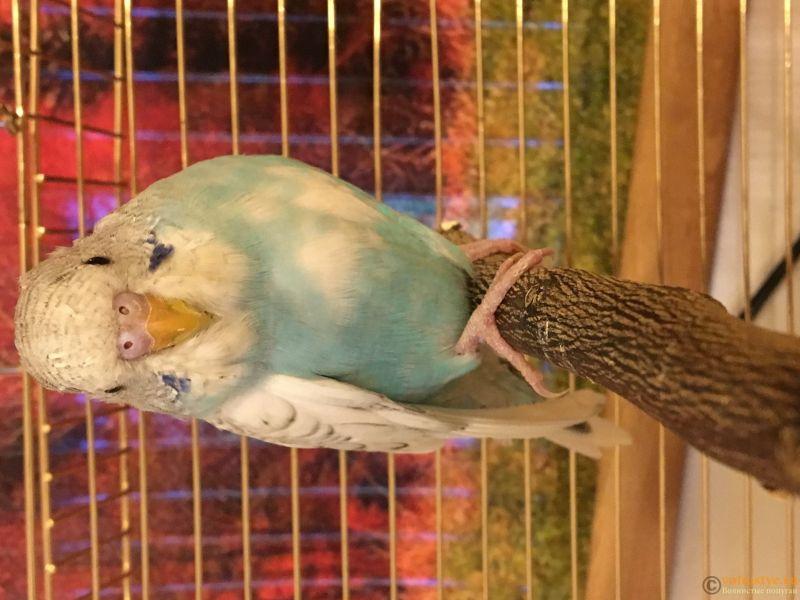 Определение пола и возраста попугаев № 11 - D8D57F9D-A7D4-4825-936D-0158B09CC611.jpeg
