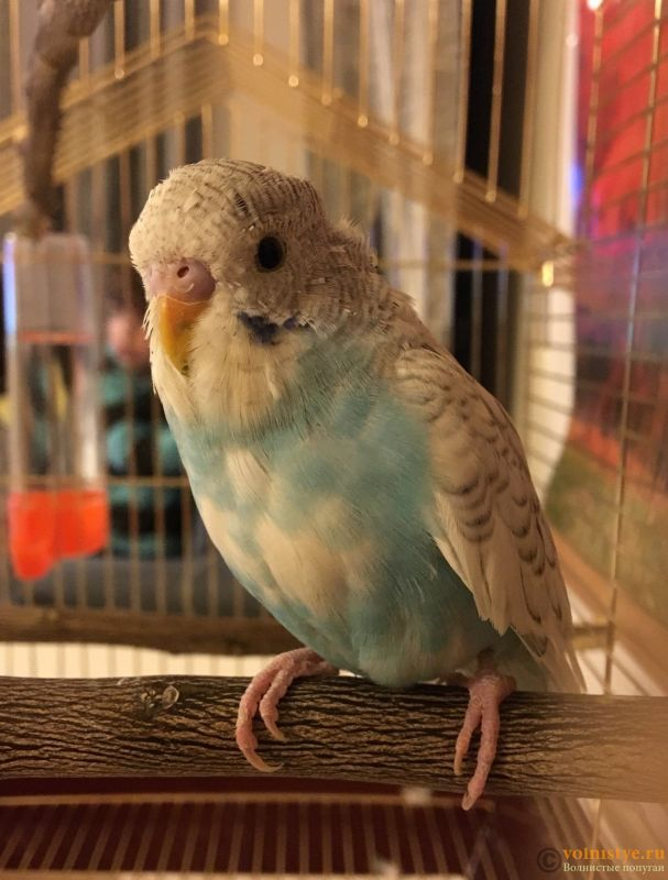 Определение пола и возраста попугаев № 11 - BD29BB15-1400-4E16-8B0B-4984BE64BE14.jpeg