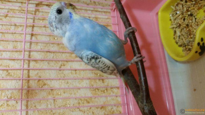 Фотографии  для статьи  окрасы волнистых попугаев - 20190207_141859.jpg