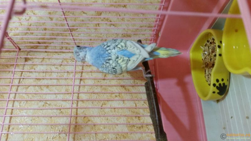 Фотографии  для статьи  окрасы волнистых попугаев - 20190207_141951.jpg