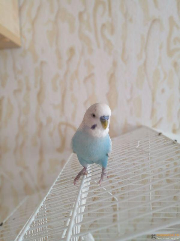 Фотографии  для статьи  окрасы волнистых попугаев - IMG_20190208_133428.jpg