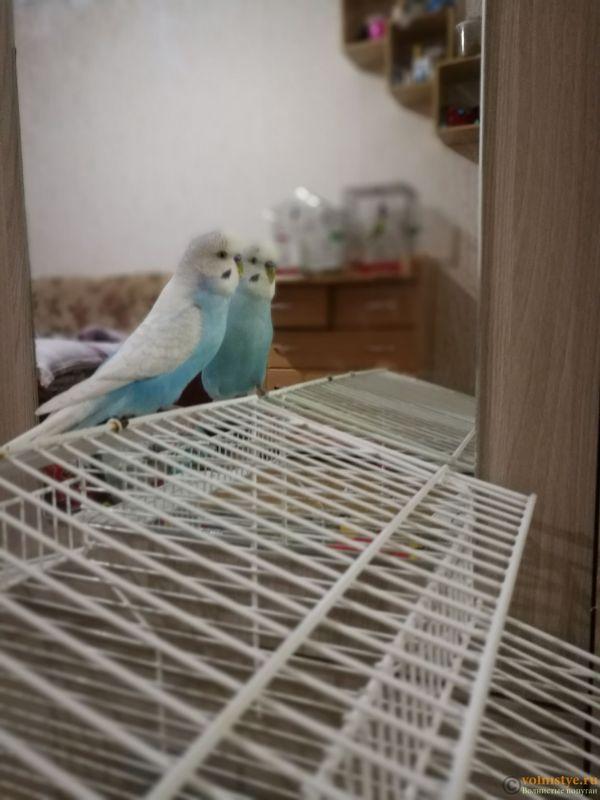 Фотографии  для статьи  окрасы волнистых попугаев - IMG_20190201_223016.jpg