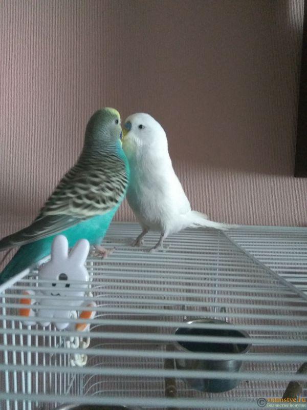 Какого окраса ваши попугаи и какого у них получились птенцы? - IMG_20190207_121525.jpg