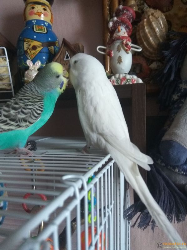 Какого окраса ваши попугаи и какого у них получились птенцы? - IMG_20190207_121349.jpg