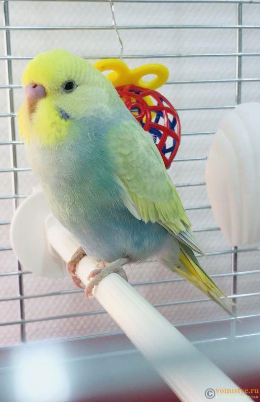 Фотографии  для статьи  окрасы волнистых попугаев - BDA78EF7-5DF1-4CF3-B514-CC4D1F34EB98.jpeg