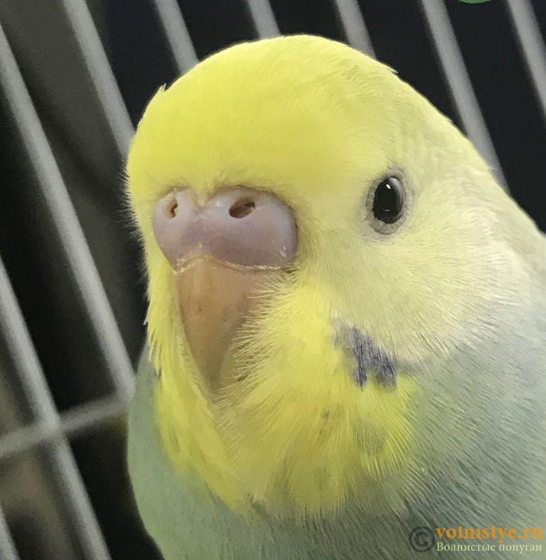 Определение пола и возраста попугаев № 12 - 10B5A489-1518-4030-8DE0-8C043B12D27B.jpeg