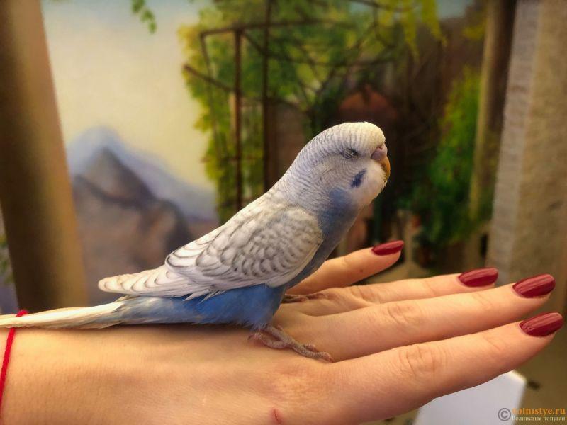 Первые дни дома. Приучение попугая к рукам. - IMG_5203.JPG