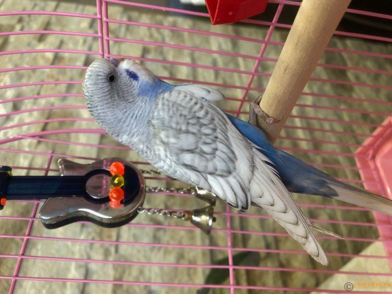 Фотографии  для статьи  окрасы волнистых попугаев - IMG_5178.JPG