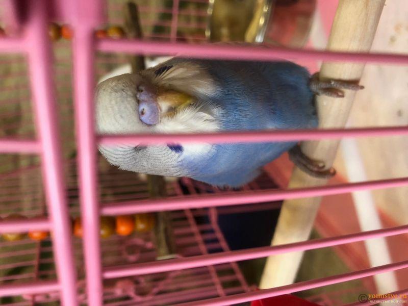 Фотографии  для статьи  окрасы волнистых попугаев - IMG_5180.JPG