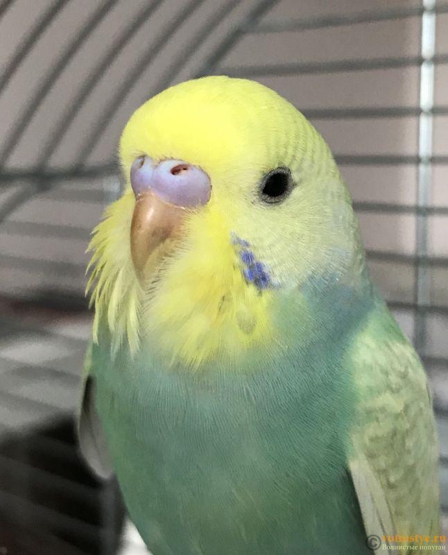 Определение пола и возраста попугаев № 12 - A3222903-08E4-4D12-AC51-384B85064B80.jpeg