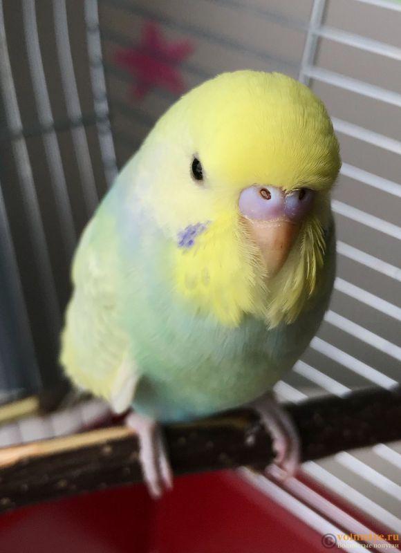 Определение пола и возраста попугаев № 12 - 14B87C8A-96A4-40A9-8F2B-860F9C419B50.jpeg