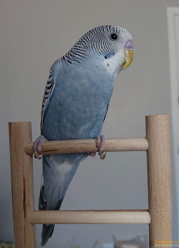 Фотографии  для статьи  окрасы волнистых попугаев - _20190210_133626.JPG