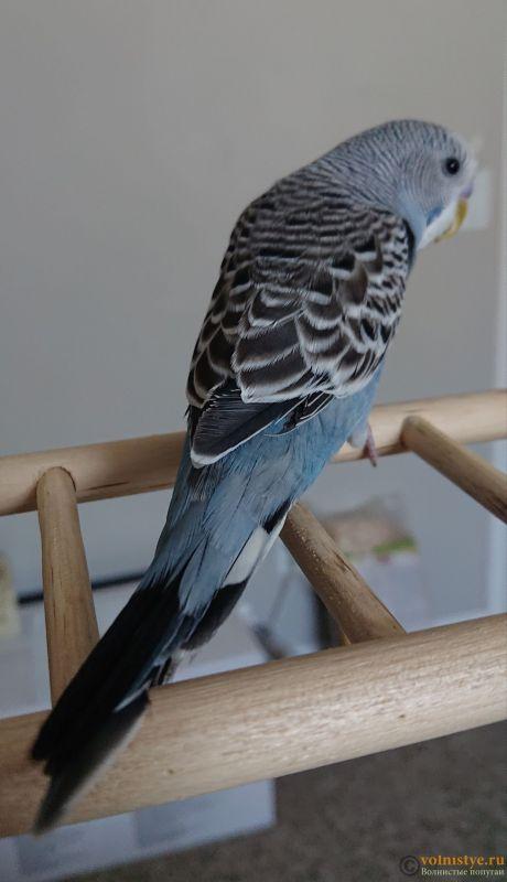 Фотографии  для статьи  окрасы волнистых попугаев - _20190212_091516.JPG