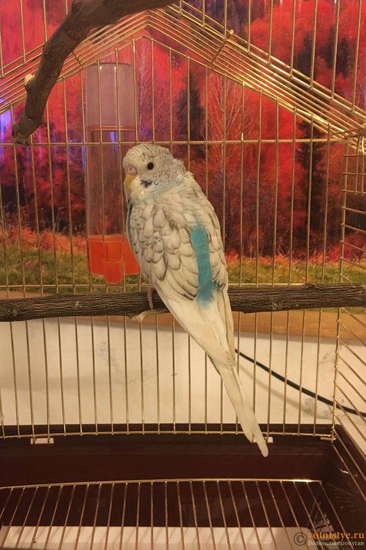 Фотографии  для статьи  окрасы волнистых попугаев - 1E63A9AA-CB59-4D2D-967C-1C4EAD847E7C.jpeg