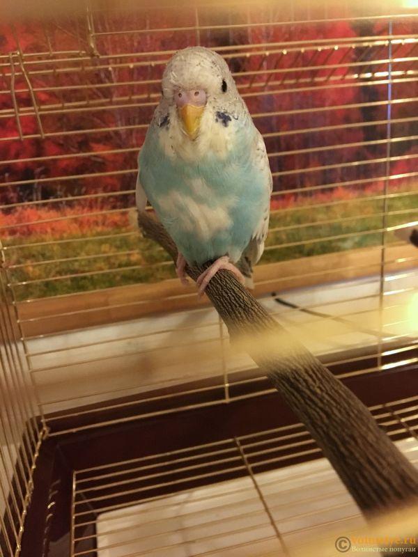 Фотографии  для статьи  окрасы волнистых попугаев - E2F5B083-C22F-40A0-80EE-B4F36DF67688.jpeg
