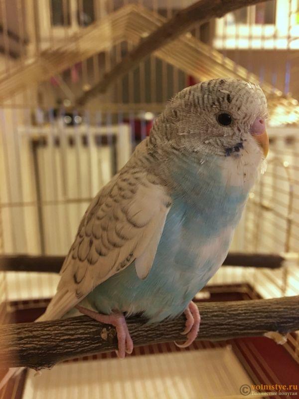 Фотографии  для статьи  окрасы волнистых попугаев - 583B8605-F957-42DE-8B0B-7A90147A0E42.jpeg