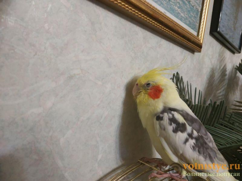 Заболел попугай корелла....помогите разобраться... - IMG_20190213_164015.jpg