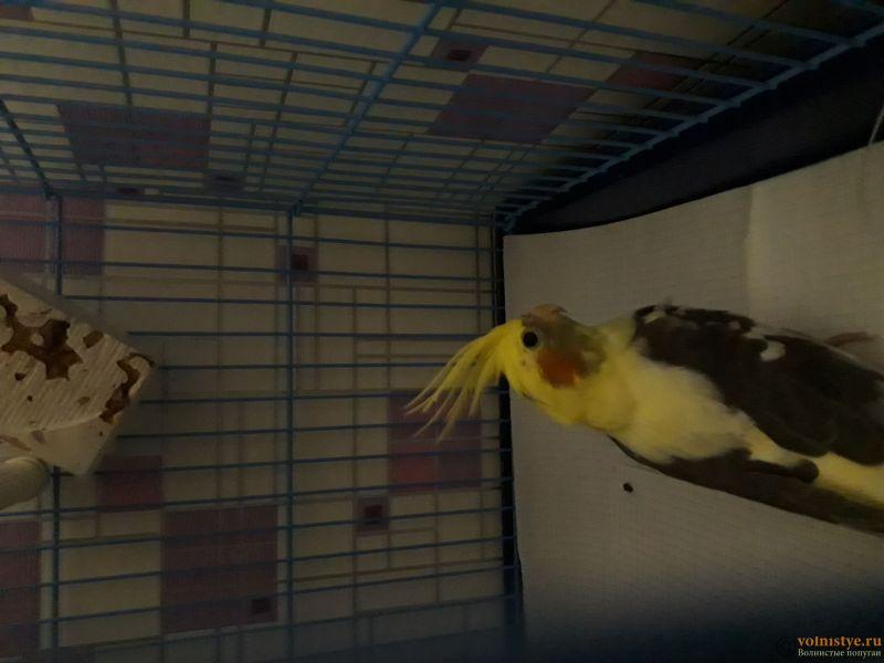 Определение пола и возраста попугаев корелла - 20190126_220406.jpg
