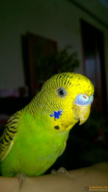 можно, попугай гриша картинки защитит изделие