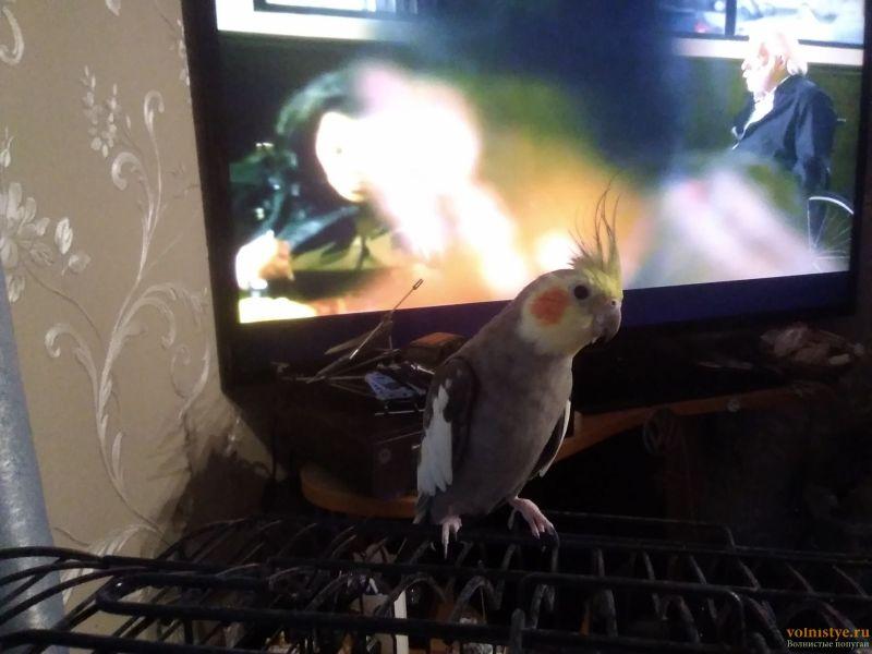 Определение пола и возраста попугаев корелла - IMG_20190223_171740.jpg