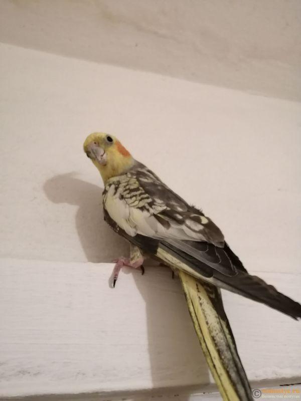 Определение пола и возраста попугаев корелла - IMG_20190225_181635.jpg