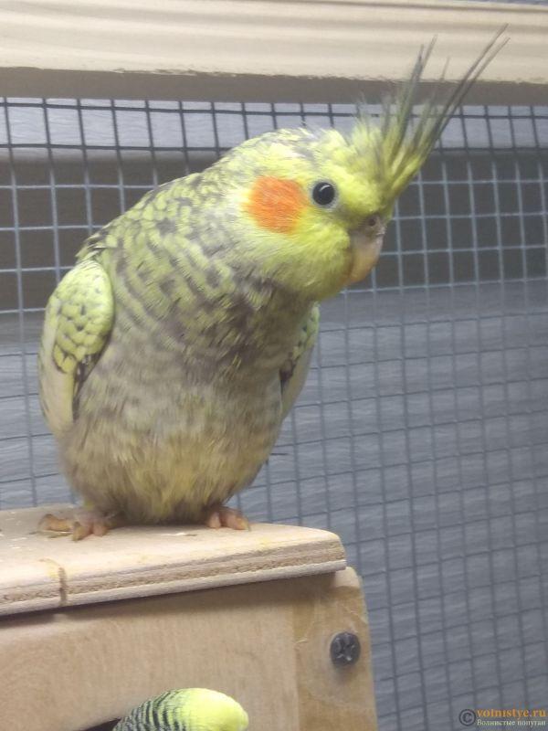 Определение пола и возраста попугаев корелла - IMG_20190310_205613.jpg