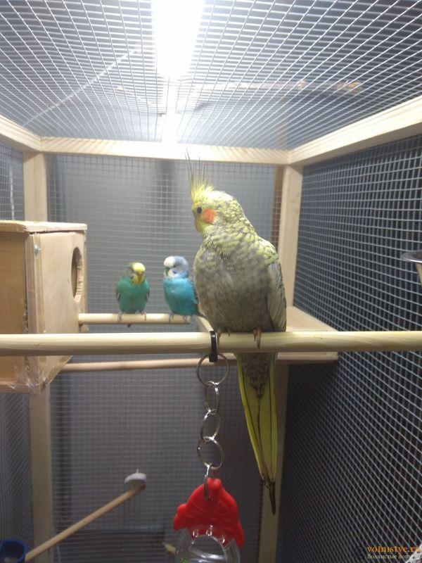 Определение пола и возраста попугаев корелла - IMG_20190310_205503.jpg