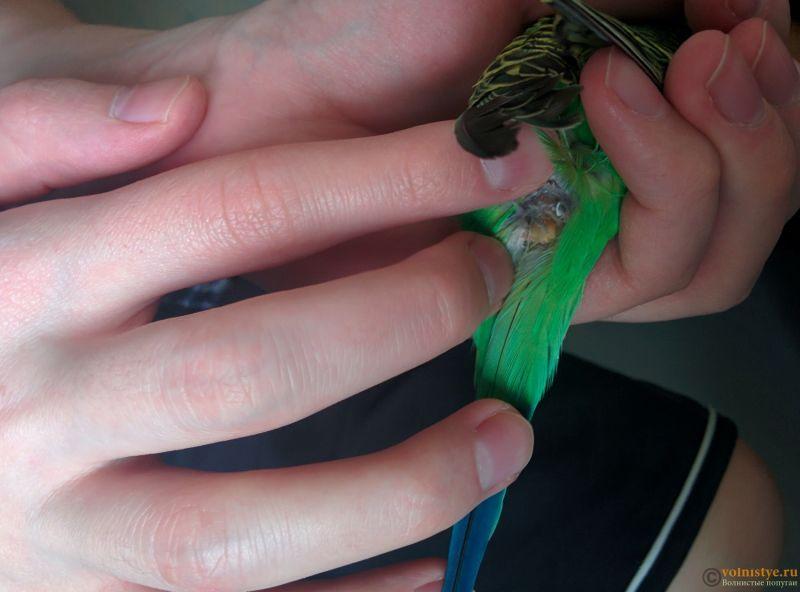 Нарост/опухоль над хвостом у волнистого попугайчика. - IMG_20190318_143111.jpg