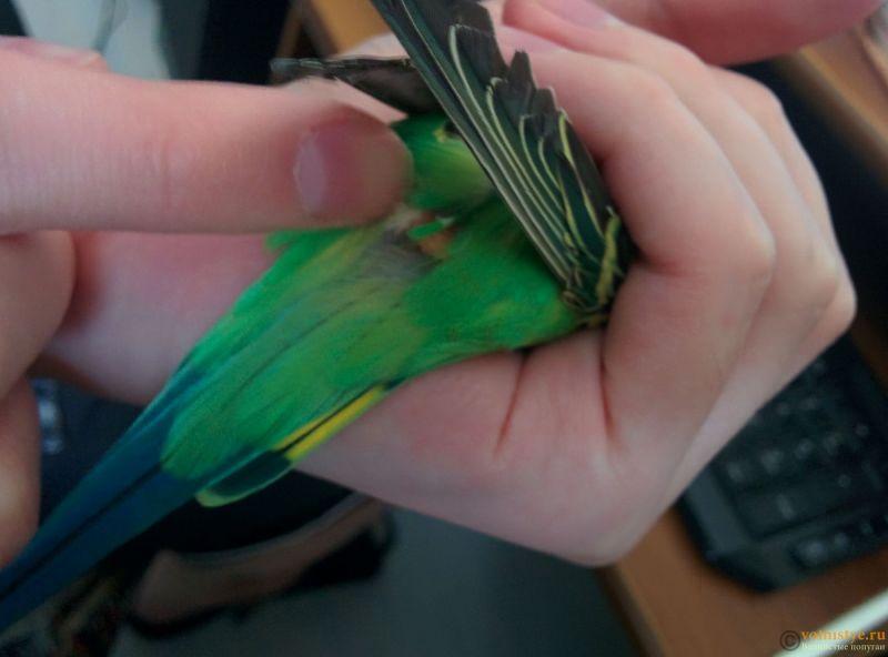 Нарост/опухоль над хвостом у волнистого попугайчика. - IMG_20190318_151050.jpg