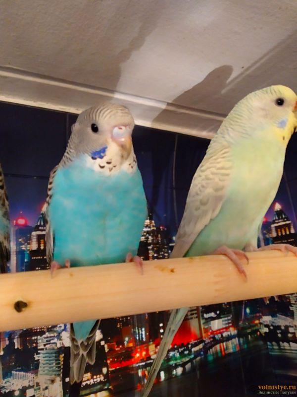 Волнистые попугаи -от Заводчика - IMG_20181230_154257 (1).jpg