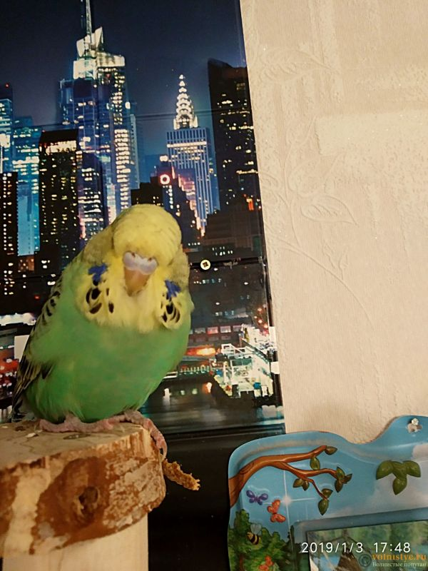 Волнистые попугаи -от Заводчика - IMG_20190103_174855 (1) (1).jpg