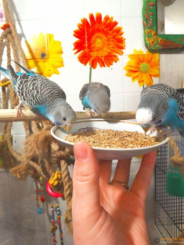 Волнистые попугаи -от Заводчика - IMG_20190126_144749 (1).jpg