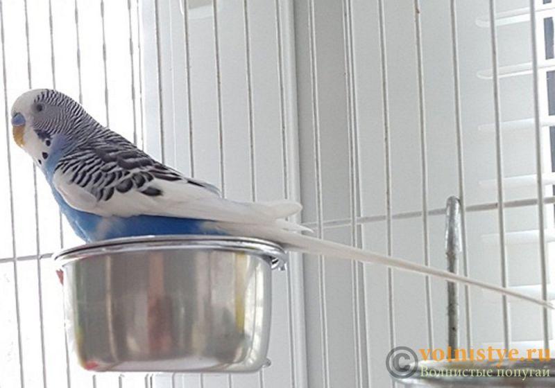Молодые самцы волнистого попугая - 4e9a91c2098109f5e31b965166ab58cb377e51d8копирование.jpg