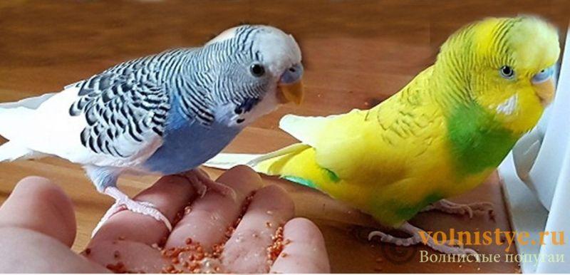 Молодые самцы волнистого попугая - 3750d8802621d6ce4cdb2dd90d3755aaa622445bкопирование.jpg